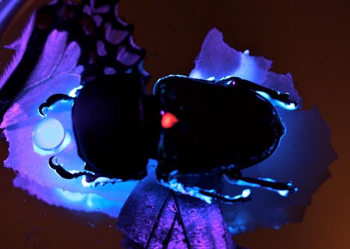 moonlightbeetle