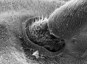 Paper_wasp_Polistes_carolina_sem2_antenna_joint